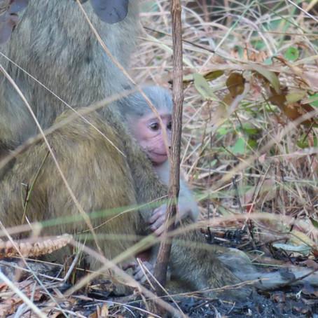Baboon babies! Godshaka's newest arrival!!! (photos: S. Stringer/GMERC)