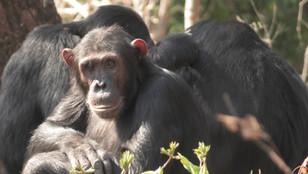Chimp conservation.jpeg