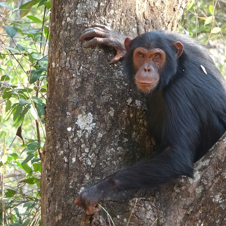 New paper on environmental variability and chimpanzee behaviour!
