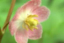 pink mayapple.png