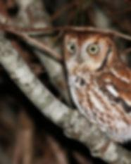screech owl.jpg