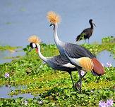 800px-Crested_Cranes,_Uganda_(1498070253