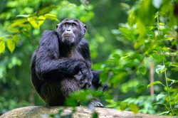 Kibale Forest-Uganda-Chimpanzees