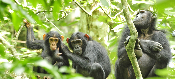 chimps-Budongo-forest-Reserve