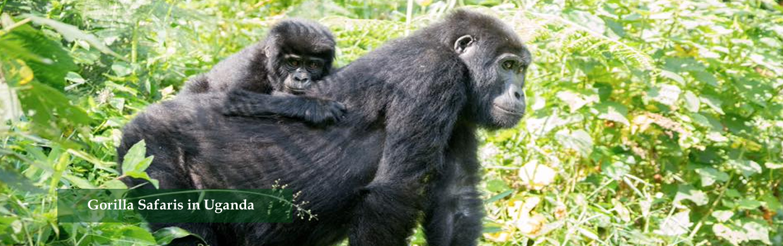 Gorilla-Safaris-in-Uganda-