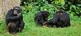 ngamba-island-chimpanzees-resting.jpg