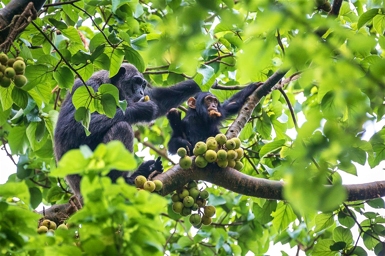 Kibale Forest-Uganda-Chimpanzees