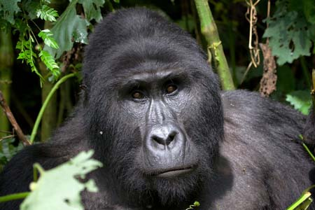 Buhoma-Gorilla2