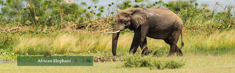 African-Elephant