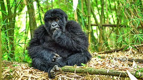 young-mountain-gorilla-eating-volcanoes-