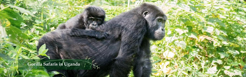 Gorilla-Safaris-in-Uganda