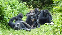 Chimpanzees-Family Meeting
