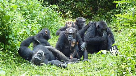 Chimpanzees-1.jpg