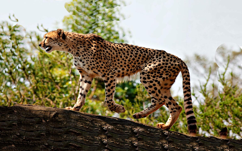 Kidepo-Cheetah