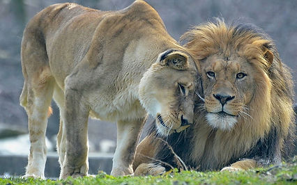 animal-s-love-lion-and-lioness-wallpaper