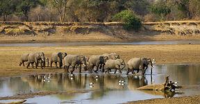 elephants-Luangwa-river.jpg