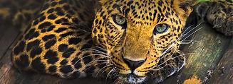 cheetah-slider1.jpg