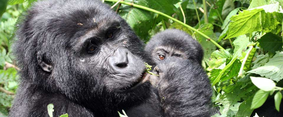 Gorilla-Habinyanja-mother-and-baby