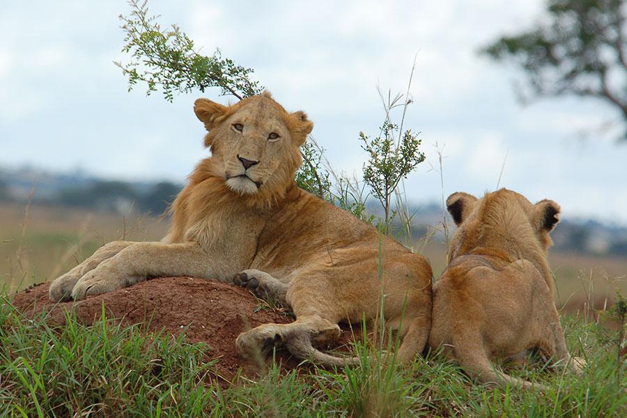 kidepo-lions