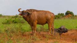 Wild beast Bufalo