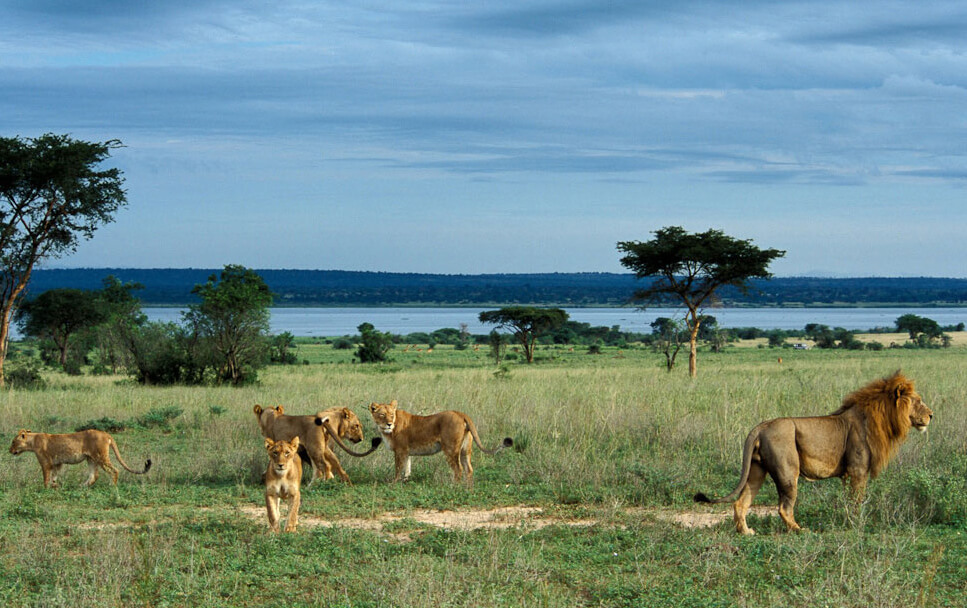 Lions-in-Murchison-Falls-Park