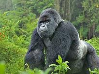 gorillas-put-uganda-in-emerging-tourist-