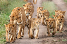 lion-supermoms-and-cubs.jpg