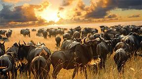 wildebeest_dreamstime_xl_17312474.jpg