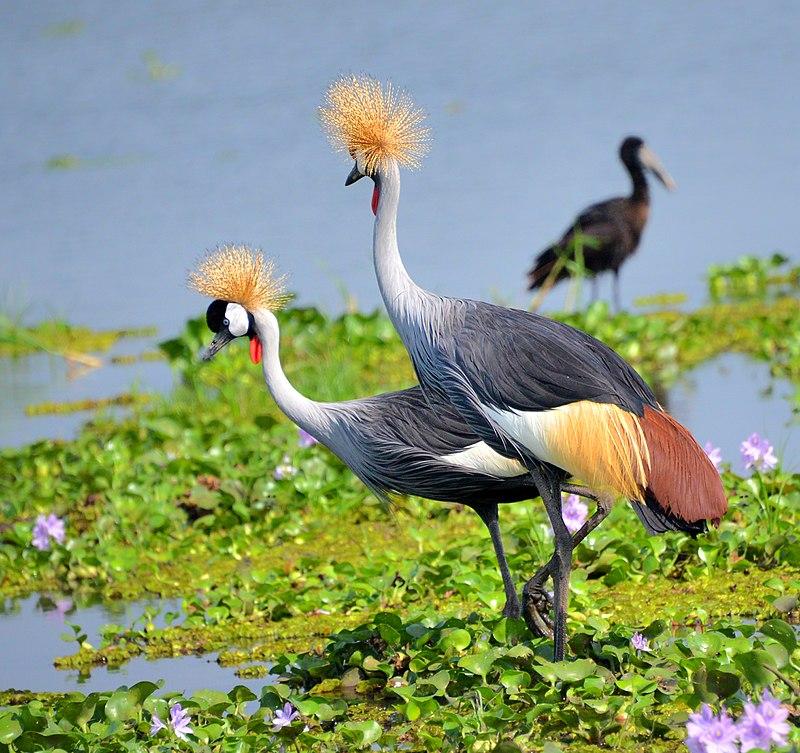 Crested Cranes Uganda