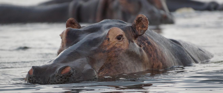 hippos-queen-elizabeth