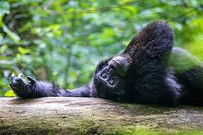Kibale-Uganda-on-back-gazing-Chimpanzees