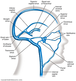 cranial venous sinuses