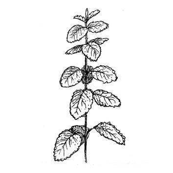 Erva-cidreira