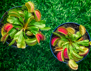 How to care for your Venus Flytrap.