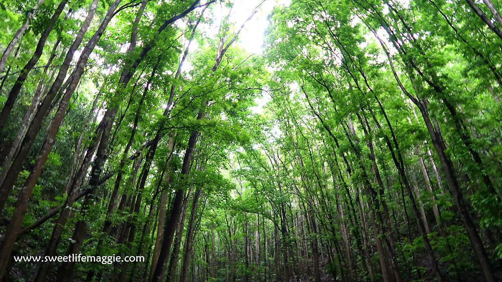 Mahogany Forest, Bohol