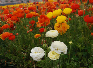 Flower Fields of Carlsbad.JPG