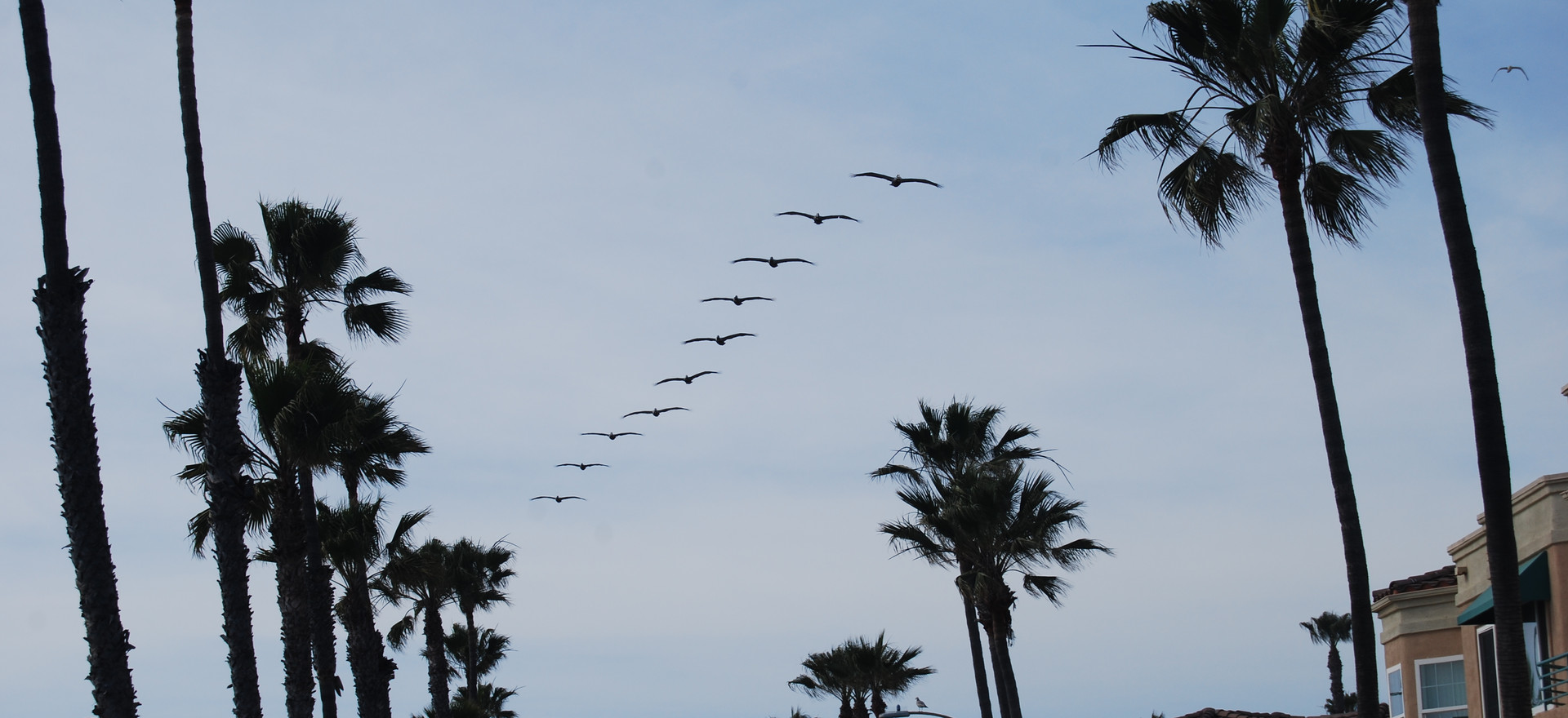 Pelicans in a row