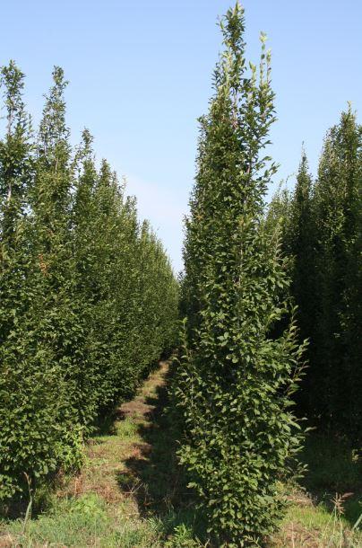 Carpinus betulus Fastigiata 250-400.JPG