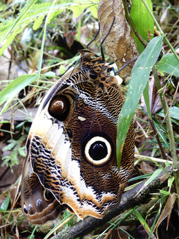 Mariposa que acaba de salir de su crisálida