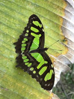 Mariposa mimetizada