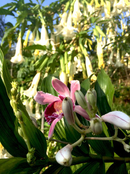 Orquidea y Datura