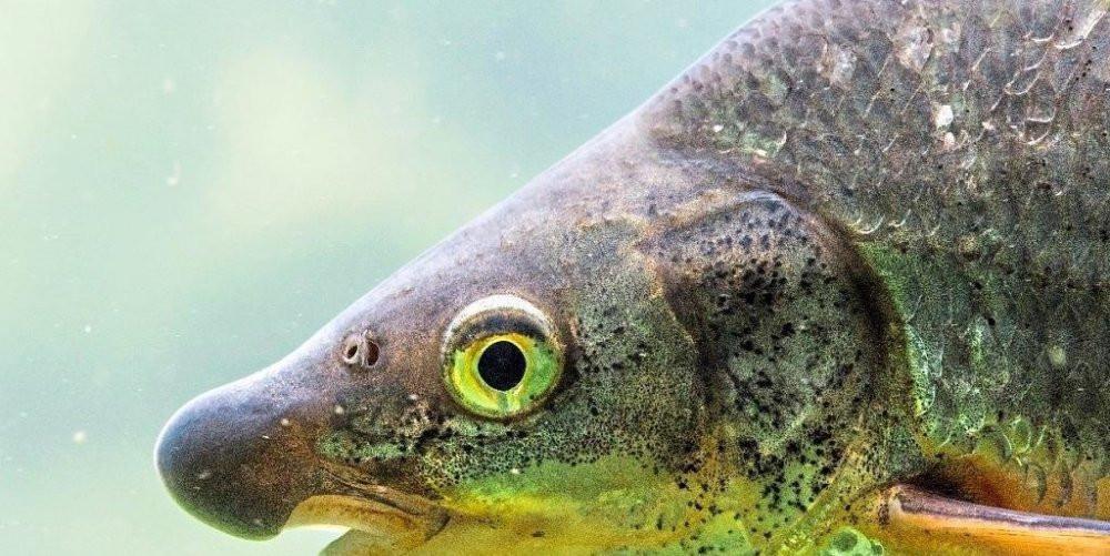Die Nase ist Fisch des Jahres 2020. −Foto: Ingo Zahlheimer - Beitrag Bad Reichenhaller Tagblatt