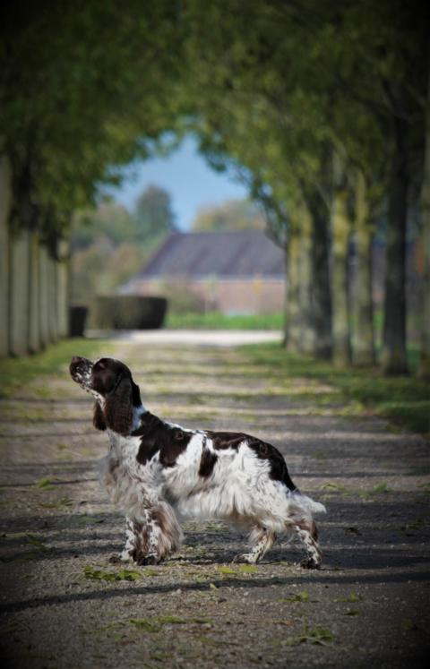 Bungee Jumper's Flip A Coin, Kennel Crowfield's Englsih springer spaniel