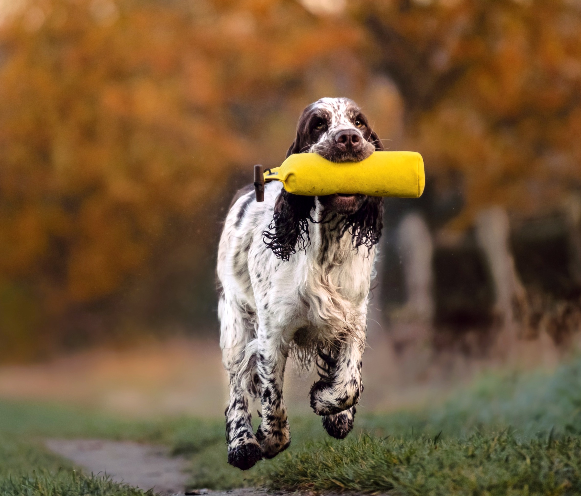 Bungee Jumper's Just In Love, Kennel Crowfield's Englsih springer spaniel