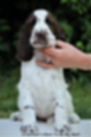 Crowfield's B litter, Goldmoore's All Time High, Bonnie, English Springer Spaniel Krefeld, kennel Crowfield's