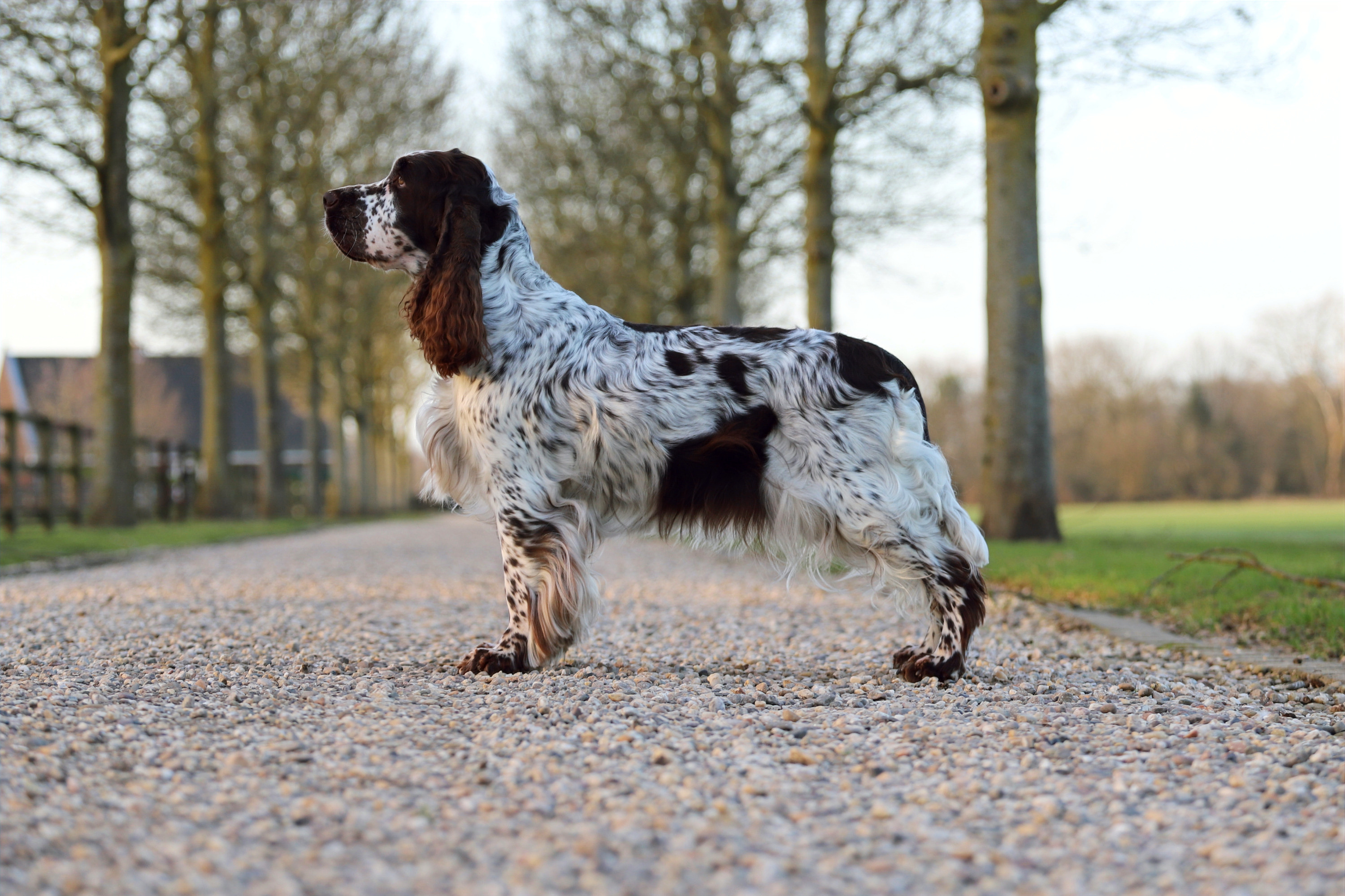 Juna, Kennel Crowfield's, VDH Zucht Krefeld, English Springer Spaniel Krefeld