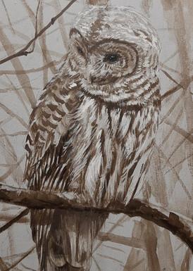 Barred Owl 4