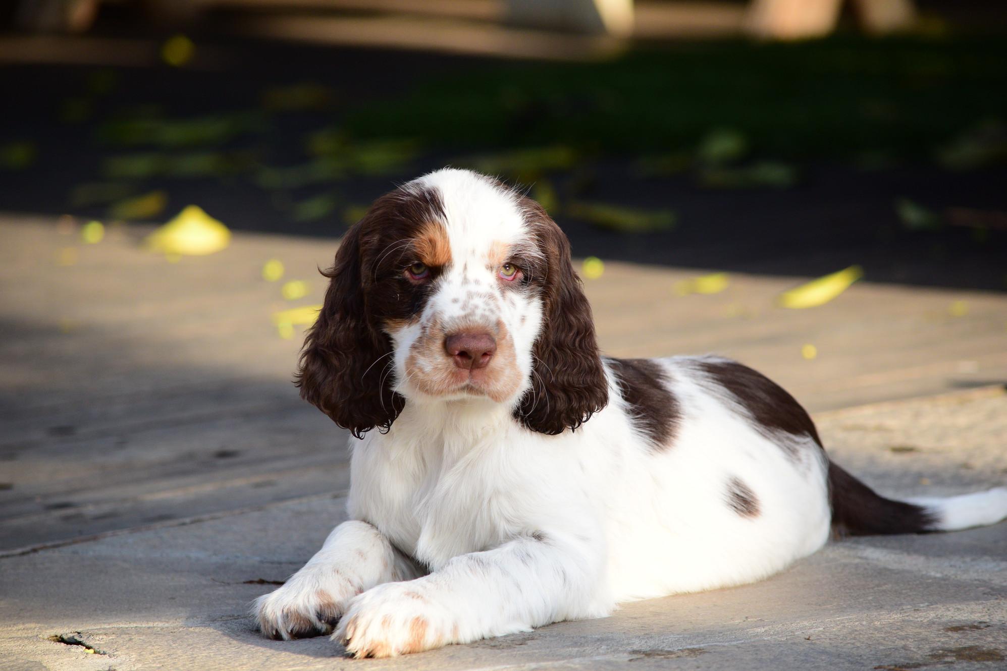 Field Bred Springer Spaniel Pups For Sale