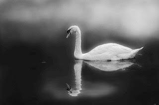 Beautiful Swan Black and White