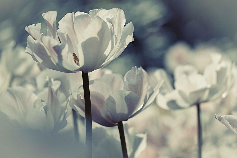 Lovely White Tulip